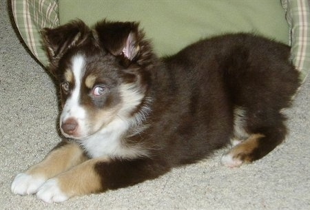 Side view - A brown with tan and white Miniature Australian Shepherd puppy is laying on a carpet. There is a green dog bed behind it. The dog is looking to the right out of the corner of its eye.