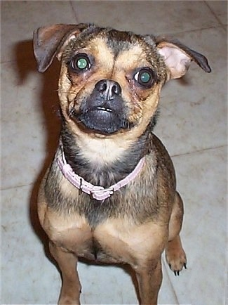 Front view shot - a tan with black Muggin dog is wearing a pink collar sitting on a white tiled floor looking up.