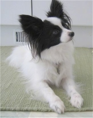 Front view - A white with black Papillon is laying on a rug  looking up and to the right.