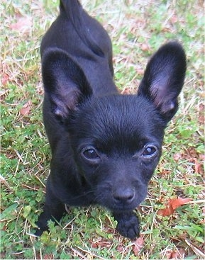 Close up Front view from the top looking down at the dog - A short-coated, shiny black Pomchi puppy is standing in grass and it is looking up.