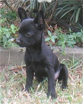 Front side view - A black Pomchi puppy is sitting on grass and it is looking down and to the left.