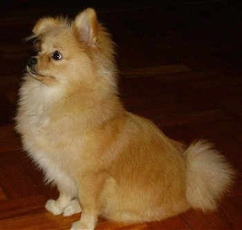 Left Profile - A red and tan with white Pomchi is sitting on a hardwood floor and it is looking up and to the left. One of its ears is down and the other is standing up.