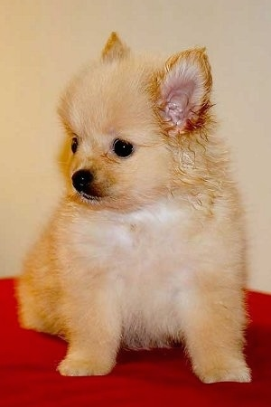 Front side view - A fuzzy tan Pomchi puppy is sitting on a red surface and it is looking down and to the left.