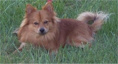 The left side of a red Pomimo dog laying in grass looking forward. It looks like a fluffy fox.