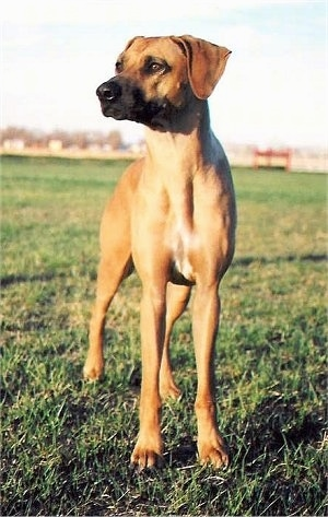 Front view - A Rhodesian Ridgeback is standing in grass and it is looking to the left.