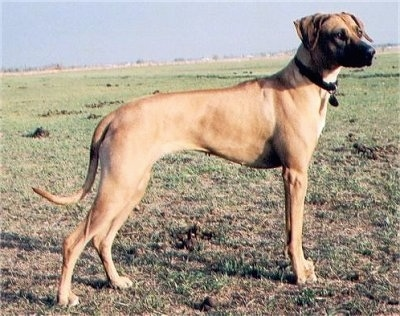 The right side of a tall Rhodesian Ridgeback that is standing in patchy grass and it is looking to the right.