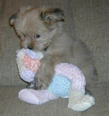 A fuzzy little tan Pom/Shih Tzu mix puppy is laying against the back of a couch and it is cuddled a knit teddy bear.