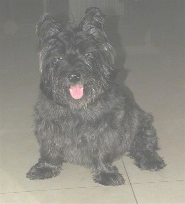 Front view - A black Skye Terrier dog sitting on a tiled floor looking forward with its mouth open and its pink tongue is out. The dog has a wide chest and short little legs.