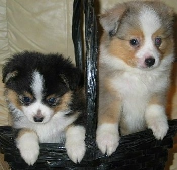 Two Tea Cup Australian Shepherd puppies inside of a black wicker basket jumped up on the side, a black, tan and white and a tan, grey and white pup.