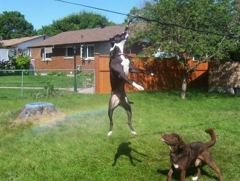 Cowboy is in mid-jump biting at a hose that is hanging over it a line. Matty the other dog is watching Cowboy jump to grab it. There is a rainbow behind them from the spraying water