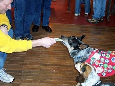 A person in a yellow shirt is sticking money in Coyote the Australian Cattle Dog's mouth. The dog is wearing a uniform with badges all over it and there is a second dog standing next to it.