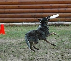 Coyote the Australian Cattle Dog is catching a frisbee in a field. There is a red cone in the background and a log wall, as well