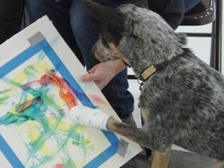 Coyote the Australian Cattle Dog is Painting with the sock on its paw