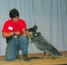 Coyote the Australian Cattle Dog is sitting on a hardwood floor. Coyotes paw is on the arm of a person in a red shirt