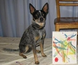 Coyote the Australian Cattle Dog is sitting next to a chair that has his painting leaning against it