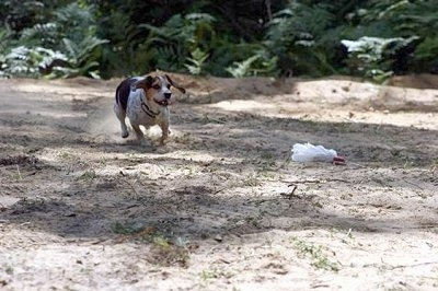 Bear the Blue Tick Beagle is running through the sand chasing after a lure on a string