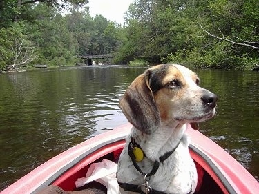 Bear the Blue Tick Beagle is sitting in a kayak which is in the water and looking to the right
