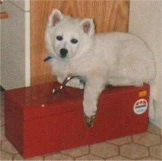 A fluffy little white Standard American Eskimo puppy is laying on a red toolbox and looking forward.