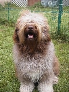 Front view - A wavy, long-coated brown, tan and white Aussiedoodle is sitting in grass smiling with its mouth open looking up.