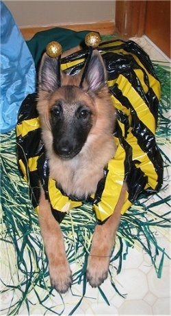 Riot the Belgian Tervuren puppy is laying on a bed in a yellow and black bee costume