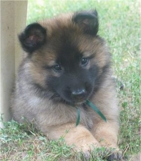 Rio the Belgian Tervuren puppy wearing a green ribbon laying outside on grass next to a table