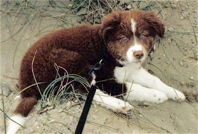 A small fluffy brown with white Border Collie Labrador mix puppy is laying in sand and she is looking forward.