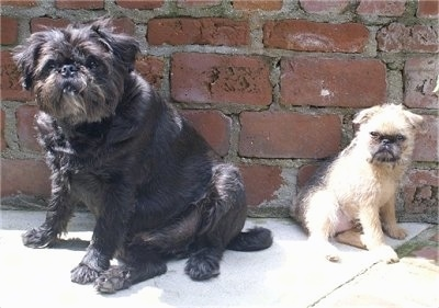 Louis the Brug sitting next to Oskar the Brug puppy both are sitting in front of a brick wall
