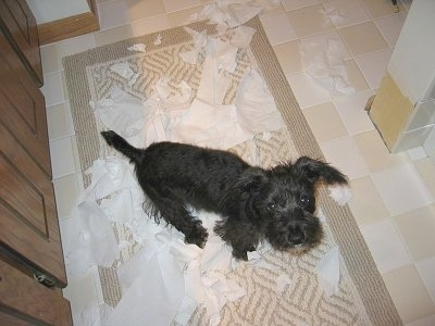 Buddy the Chonzer puppy is sitting on a rug in a bathroom. The rug is covered in toilet paper