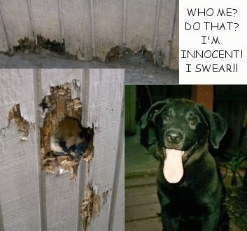 A series of photos exhibiting the damage of holes Sanford the Black Lab has done to a wooden wall in a house. 'Who Me? Do That? I'm Innocent! I Swear!!' are the words overlayed in the top right hand corner.