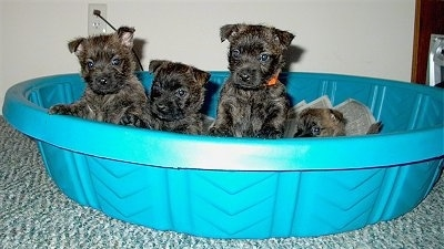 Three puppies are jumping up against the edge of a small blue plastic pool and One puppy is laying behind them