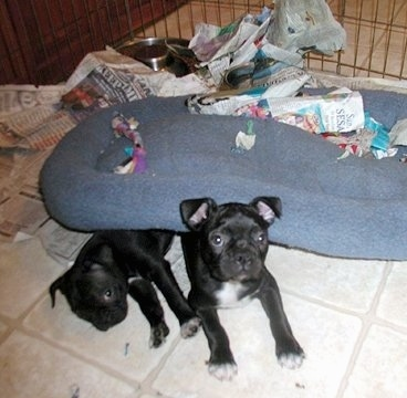 Bear and Koko the Boston Terrier puppies are laying in a pen under a dog bed. They have torn up pieces of the newspaper that was under the dog bed scattered all over the pen