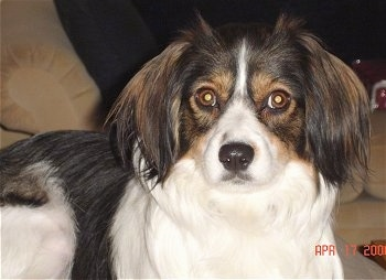 Close up - A long haired, white with black and tan Cav-A-Mo dog is laying on a carpet and it is looking forward.