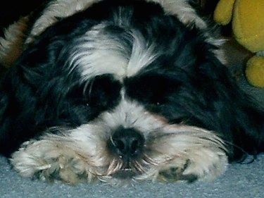 Close Up head shot - Charlie the Cava-Tzu is laying on a carpet