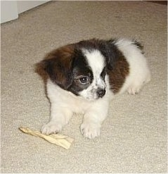 Charlie the brown, black and white Cavapom puppy is laying on a carpet and there is a rawhide bone under one of its paws