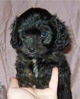 Front view head and upper body shot - A black with white Cavapoo puppy is standing up in its hand and there is a purple backdrop behind it.
