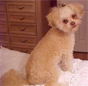 The back of a tan with white Chi-Poo puppy that is sitting near the edge of a bed. It is turning its head to look forward. Its coat is curly but shaved short.