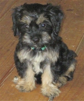 Close up front view - A little wavy coated, black and tan Silky Cocker puppy is sitting across a hardwood floor, it is looking down and to the left.