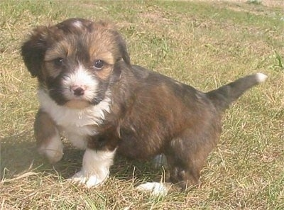 Angel the black, brown and white Copica puppy is sitting outside in a field with one front paw in the air