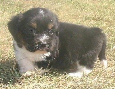 Tramp the black, white and tan tricolor Copica puppy is standing outside in brown grass