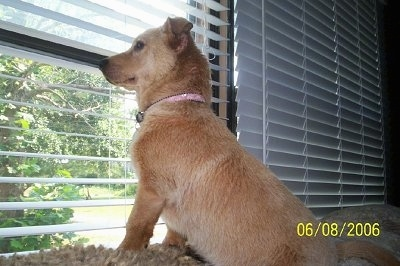 Jewels the tan Corgidor is sitting on the back of a couch and looking out of the white blinds at a window in front of her