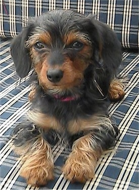 Angel the black and tan Dorkie puppy is laying on a blue and white plaid couch