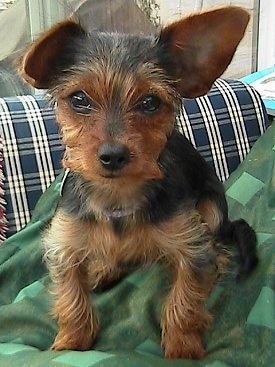 Close Up - Josie the black and tan Dorkie puppy is sitting on a green blanket on top of a blue and white plaid couch.
