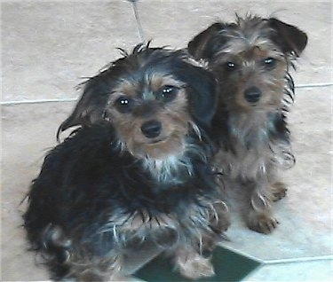 Angel and Josie the black and tan Dorkies are sitting on a tiled floor and looking towards the camera holder