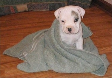 A little white with grey EngAm Bulldog is sitting on a hardwood floor and it is wrapped in a light green towel.
