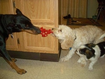 Three dogs playing - A black and tan Doberman Pinscher is having a tug of war with a white Cockapoo puppy. A Pekingese/Terrier mix puppy is standing next to the Cockapoo puppy about to bite its leg.