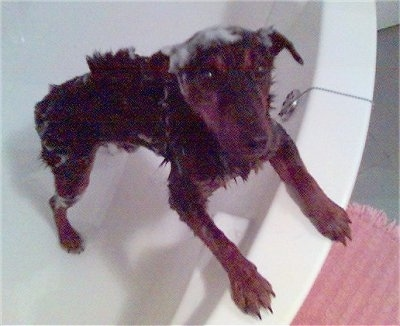 A German Hunting Terrier is jumped up against the side of a white bath tub with soap all over its head.