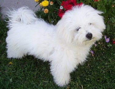 A furry pure white Havachon is standing in grass next to a flower bed