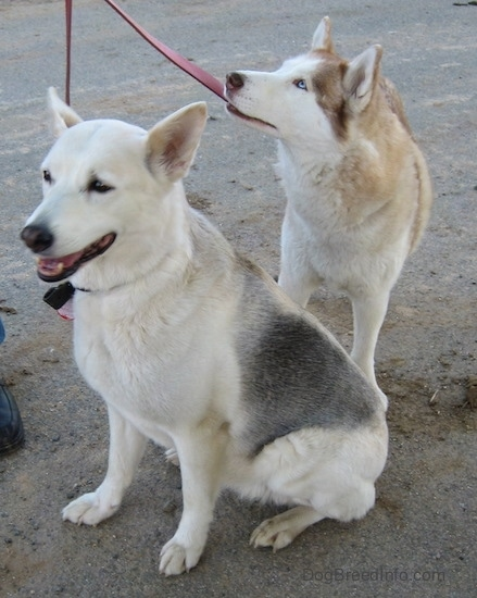 A white with grey Alaskan Husky is sitting in dirt, its mouth is open. Behind it is a standing blue-eyed white with brown Siberian Husky.