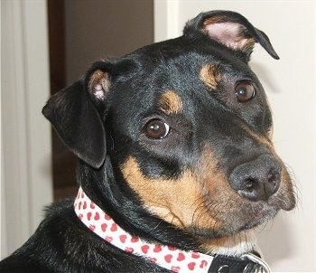 Close up side view head shot - A rose-eared, black with tan and white Jack Russell Terrier/Rottweiler mix is sitting in a room. Its collar is white with red hearts all over it. It is looking towards the camera.