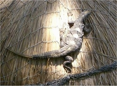 An iguana is laying in sunlight on top of a straw roof.